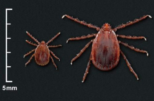 Invasive tick species could have an even larger impact on the US than first feared