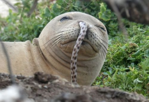 These endangered seals won't stop getting eels stuck in their noses