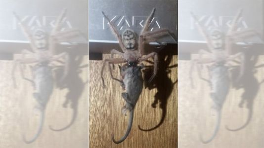 Couple Spots Giant Hairy Spider Feasting on Possum in Tasmania