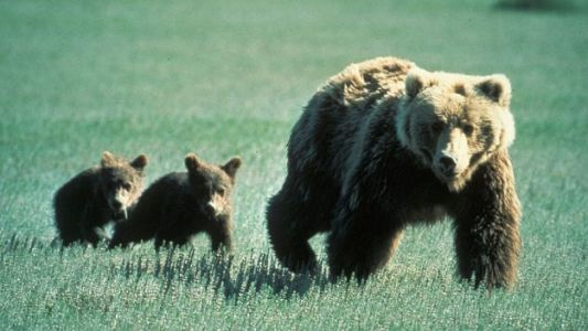 Grizzly Bear Mom, Cubs Struck and Killed By Trains in Montana