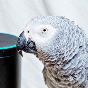 Alexa, Polly want a cracker! Meet the parrot that makes Amazon Echo buy him fruit