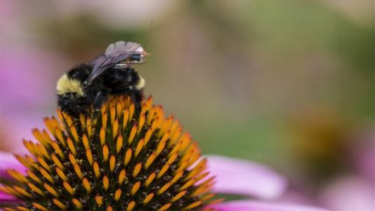 Bees With Mini Sensor Backpacks Could Help Farmers Monitor Crop Health