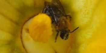 Stronger Pesticide Regulations Likely Needed to Protect all Bee Species