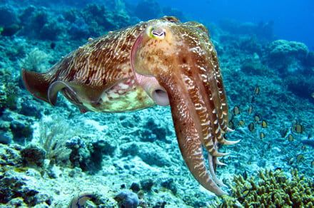 Secrets behind cuttlefish's camouflage could inspire shape-shifting structures