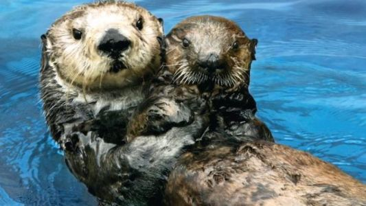 Sea Otter Surrogacy Helps Restore Threatened Population