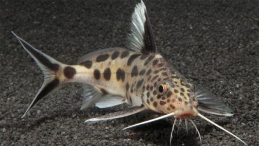 This Cuckoo Catfish Tricks Other Fish Into Raising Its Deadly Offspring