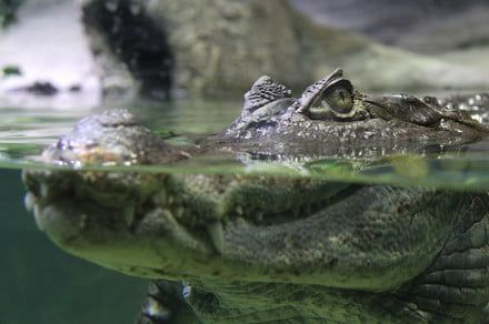 Researchers gave alligators headphones and ketamine, because science