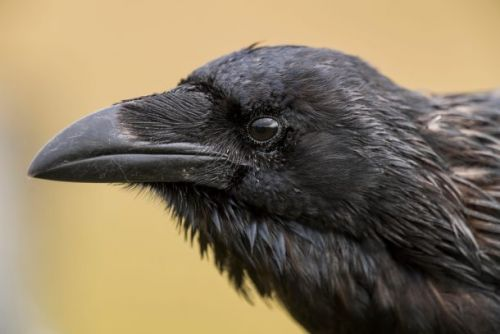 Ravens have emotional quirks similar to humans, study finds