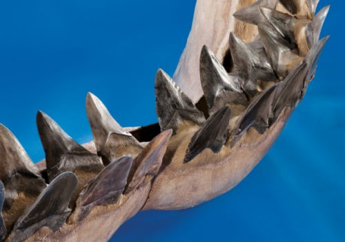 Mega-shark Megalodon may have died off because it got too hot