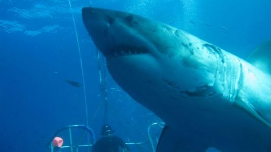 20-Foot Great White Shark Known as 'Deep Blue' Spotted Off Hawaii Coast Eating a Dead Whale