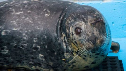 Pregnant Seal Shot in the Eye Recovers, Set to Be Released Back Into the Wild