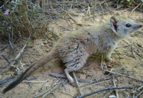 Researchers thought this furry little marsupial was extinct for 100 years, until it came to find them