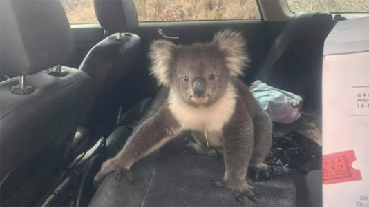 Watch: Koala Sneaks Into Man's Car to 'Chill' in the AC on a Hot Day