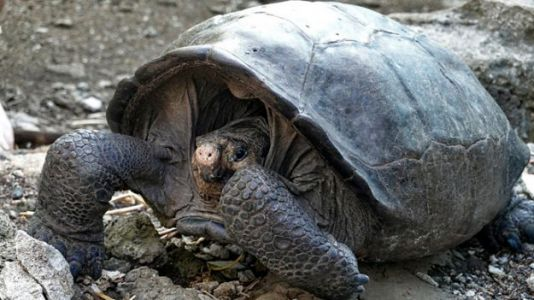 Tortoise Thought to Be Extinct for 100 Years Rediscovered in Galapagos Island