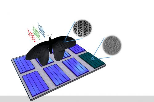 Butterfly wings inspire a better way to absorb light in solar panels
