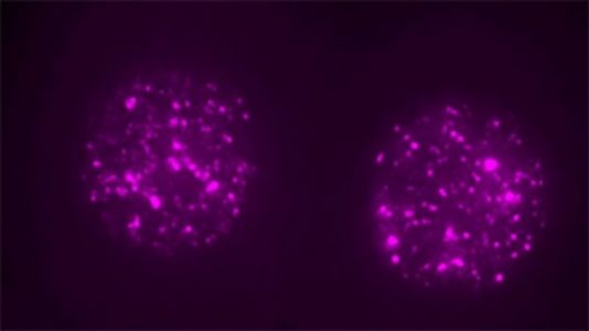 'Junk' Jumping Gene Actually Key to Embryonic Development