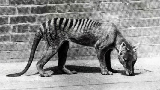 Scientists obtain Tasmanian Tiger genome, and might even bring it back from extinction
