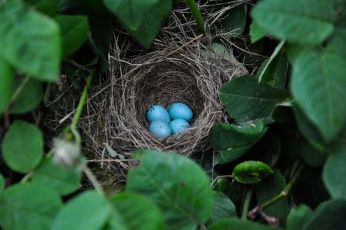 Bird Embryos Can Communicate With Each Other From Inside Unhatched Eggs