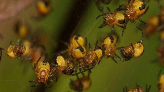 Study: Spider Milk Exists for Eight-Legged Babies
