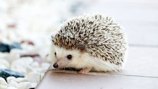 CDC Links Multi-State Salmonella Outbreak to Pet Hedgehogs
