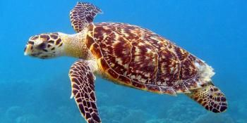 For These Critically Endangered Marine Turtles, Climate Change Could be a Knockout Blow