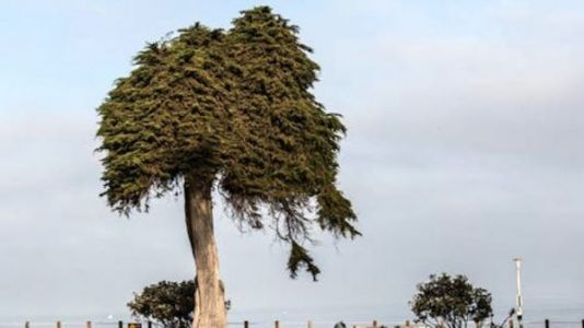 Tree That Inspired Dr. Seuss' 'The Lorax' Has Fallen
