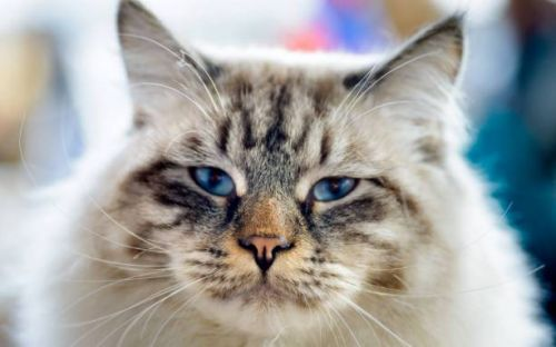Cat allergy vaccine treats pets to protect allergic humans