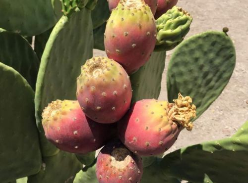 Researchers eye cactus as a drought-tolerant crop for biofuel and more