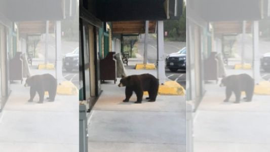 Curious Bear Wanders Into City Hall Building in California
