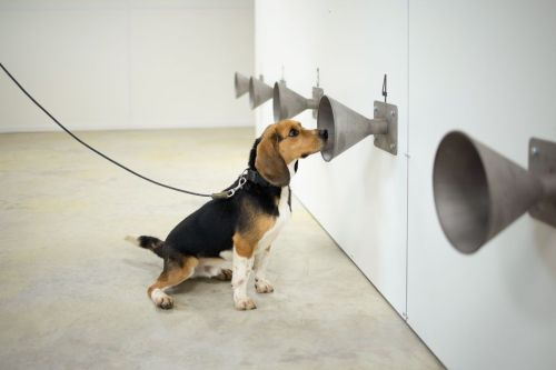 COVID-19 Detecting K-9 Dogs Got up to 94% Accuracy in Initial Tests-How it Works