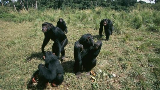 Here's What Happened When Scientists Left Camera Traps to Record Wild Apes
