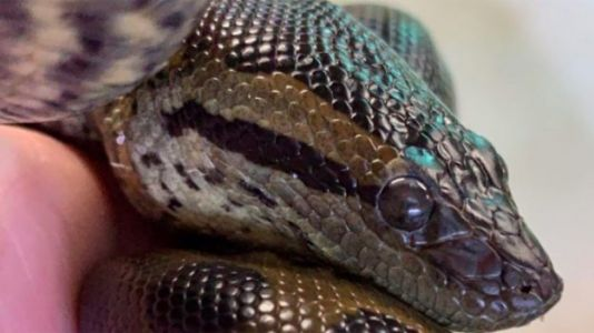 Anaconda Gets Pregnant Without a Male, Has 'Virgin Birth' at Aquarium