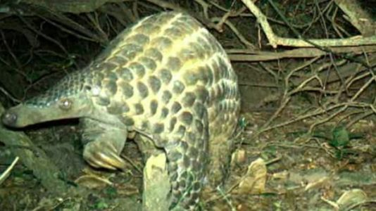 Conservationists Capture Rare Footage of Giant Pangolins in the Wild