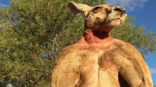 Roger, the Internet's Favorite Ripped Kangaroo, Dies at Age 12