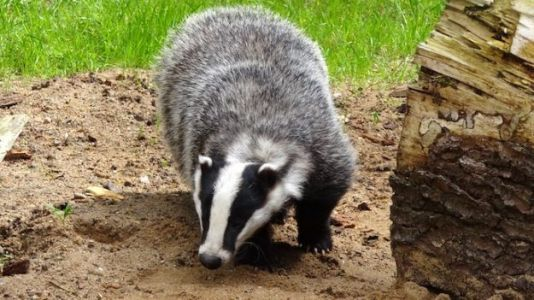 Scottish Castle Repairs Damage Done by 'Very Angry Badger'