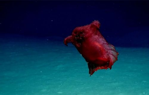 'Headless chicken monster' deep-sea creature caught on camera