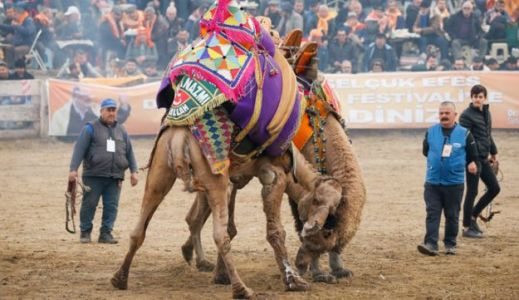 Thousands Attend Camel Wrestling Tournament in Turkey