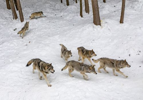 463 Wolves Died Senselessly Due to Simple Statistical Mishap