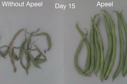 Sick of fruits and veggies going bad? This second skin doubles their life spans