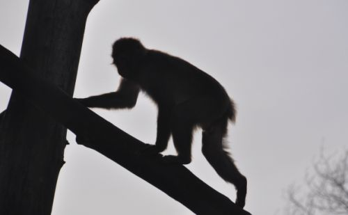 A 72-year-old man was stoned to death by a group of insane monkeys and police don't know what to do