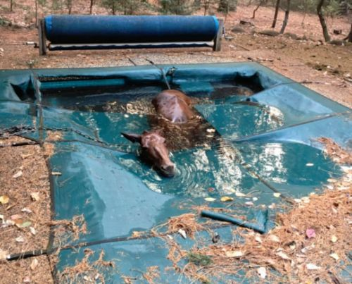 Horse saves itself from California wildfire by falling into a pool